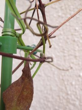 目指せ来年3輪以上 旧枝咲きクレマチス 12月22日