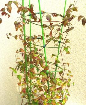 目指せ来年30輪以上 新枝咲きクレマチス 12月22日