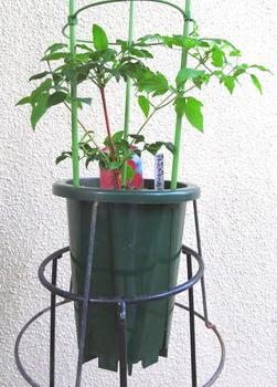 目指せ来年30輪以上 新枝咲きクレマチス 5月13日 コレボンの植え付け②
