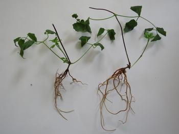 目指せ来年30輪以上 新枝咲きクレマチス *番外編 8月5日 挿し穂作り