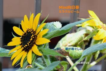 2018年版Mini向日葵ミラクルビーム 2つ咲いたけど^-^葉が・・・。