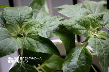 2018年版Mini向日葵ミラクルビーム 花芽が見えた:ミラクルビーム 0623