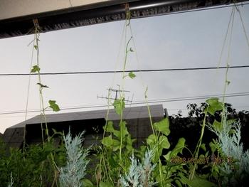 スカーレットちゃんリベンジ 7月27日後ろから吊っています。
