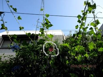 スカーレットちゃんリベンジ 軒下部分、まだまだ伸びています。