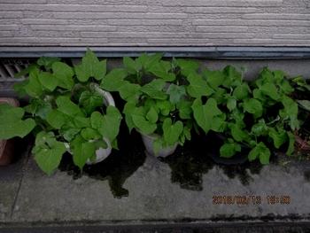 スカーレットちゃんリベンジ 葉が7枚になりました。