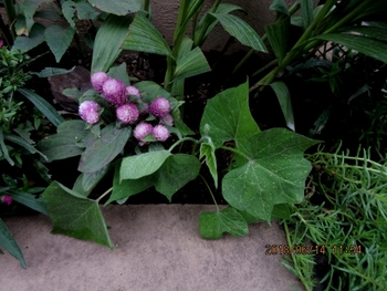 スカーレットちゃんリベンジ 花壇に定植