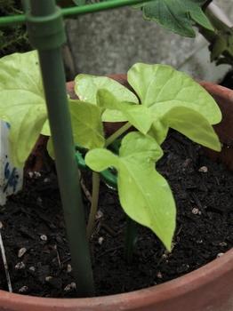 のんびり朝顔栽培 団十郎 でも少し背が伸びた様な…?