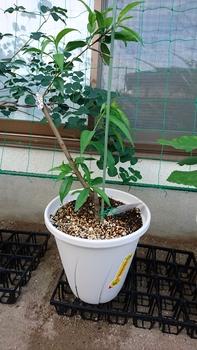 清水白桃の成長記録 清水白桃