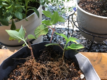 ヤマアジサイ 紅 を挿し木で育てる 発根確認しました。