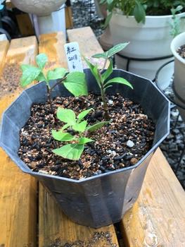 ヤマアジサイ 紅 を挿し木で育てる 鉢植えに