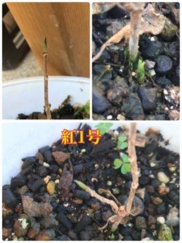 ヤマアジサイ 紅 を挿し木で育てる 3鉢株全てに新芽🌱❓発見 紅1号編