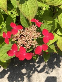ヤマアジサイ 紅 を挿し木で育てる