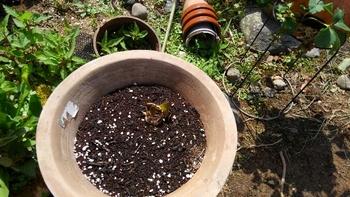 真っ赤なアマリリス 3月に球根を植えました