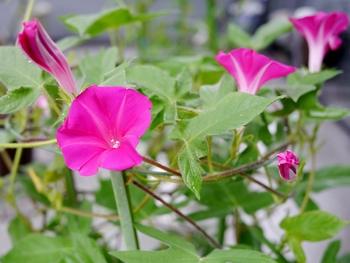 普通種の朝顔を育てます たくさん咲き始めました。