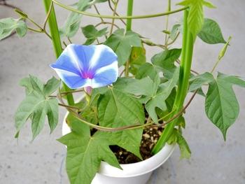 普通種の朝顔を育てます 第一花が咲きました