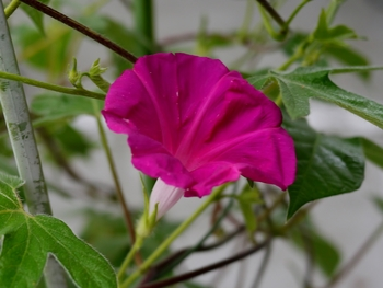 普通種の朝顔を育てます もう一鉢も開花しました。