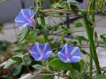 普通種の朝顔を育てます 花数が増えて来ました
