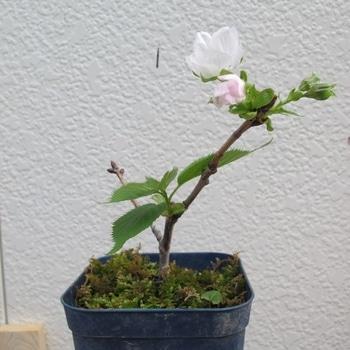桜の挿し木は成功するか? 開花しました!