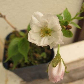 桜の挿し木は成功するか? 咲いた花