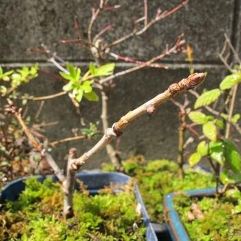 桜の挿し木は成功するか? 3月の様子