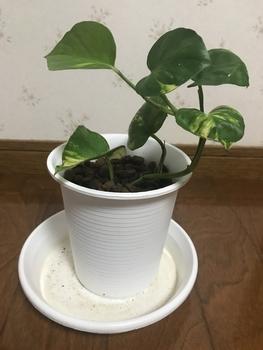 ポトスの水栽培 葉っぱが6枚になったよ!(8/13)
