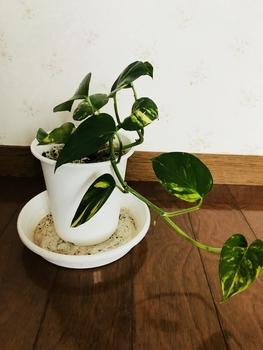 ポトスの水栽培 葉っぱが10枚になったよ!(9/14)