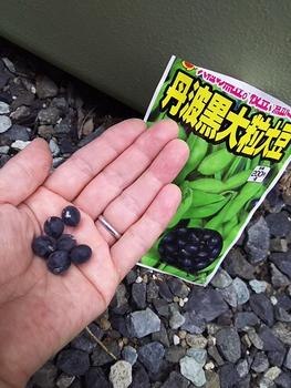 おせちの黒豆を自分で育てられたらいいな~ 黒豆🎵