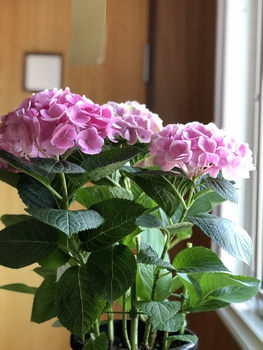 秋色紫陽花シーアン