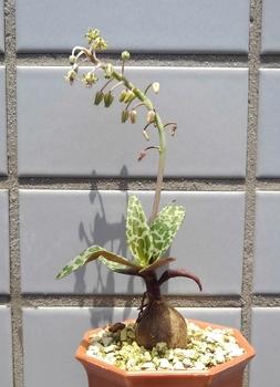 豹紋(ひょうもん) ポコポコふえる! 1年目で咲くのだなぁ