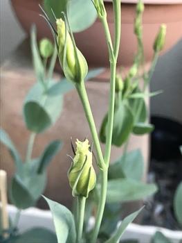 初めてのトルコギキョウ、頑張る❗️ 蕾が成長しています🌟