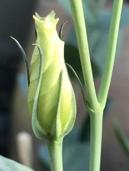 初めてのトルコギキョウ、頑張る❗️ 少しずつ花びらが成長しています🌟