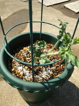 鉢植えスイカ🍉 6月3日10号鉢に定植🌱