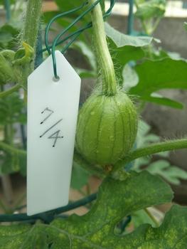 鉢植えスイカ🍉 7月8日受粉成功🙌