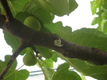 イチジクの取り合い・・・カミキリムシVS私 作戦開始、殺虫剤の投入、ティッシュで蓋