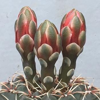 🌺✨花サボテン「緋花玉(ひかだま)」ギムノカリキウム属