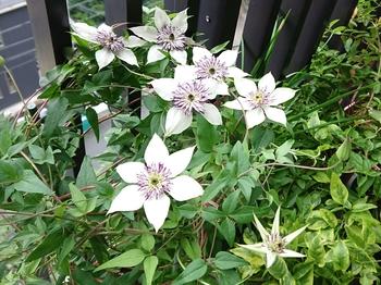 キミはだあれ?クレマチスの名前が知りたい!9/10テッセンですよ~ 咲き続けています