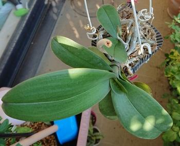 いつ咲くの、コチョウラン!品種不明①・・・その2 成長しています