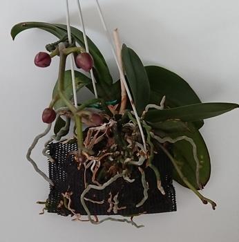 いつ咲くの、コチョウラン!品種不明①・・・その2 なんと、子株にも花茎が