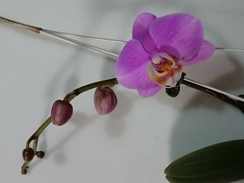 いつ咲くの、コチョウラン!品種不明①・・・その2 初開花