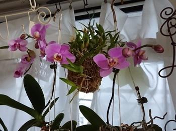いつ咲くの、コチョウラン!品種不明①・・・その2 咲きすすんでいます