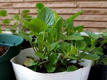 早蒔き(6月)ビオラの成長 一番ドッシリとした苗
