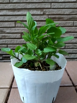 早蒔き(6月)ビオラの成長 1つめの苗
