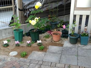 早蒔き(6月)ビオラの成長 玄関横の小さな花壇に定植
