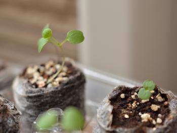 早蒔き(6月)ビオラの成長 徒長しまくり苗