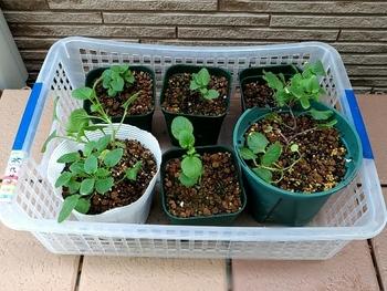 早蒔き(6月)ビオラの成長 種蒔きしてもう直ぐ3ヶ月になります