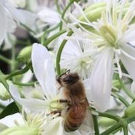 初めての仙人草 栽培経過 2018 ミツバチのお仕事