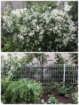 初めての仙人草 栽培経過 2018/9/13バッサリと剪定