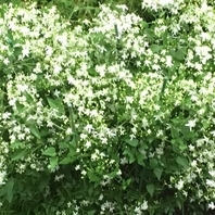 初めての仙人草 栽培経過 2018/9/2夏の雪の様に真っ白