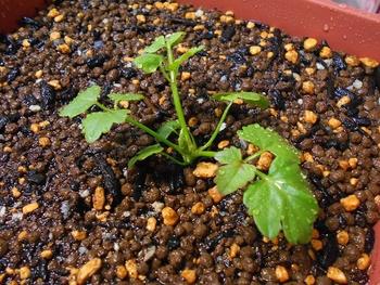 セリを種から育てる(日本古来の作物) いよいよ植え付け(47日目)