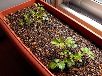 セリを種から育てる(日本古来の作物) 順調に成長中(56日目)